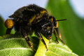 Bumblebee / Bombus terrestris Royalty Free Stock Photo