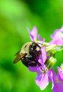 Bumblebee closeup of on dame s rocket flower in the garden Royalty Free Stock Photo