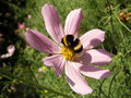 Bumblebee collecting pollen on a flower Stock Photo