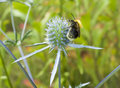 Bumblebee collecting pollen from flower of prickly weed macro Stock Photography