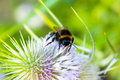 Bumblebee collecting pollen from flower of prickly weed macro Royalty Free Stock Image