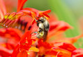 Bumblebee on crocosmia flowers feeding Royalty Free Stock Photography