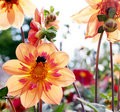 Bumblebee and Dahlias Stock Images