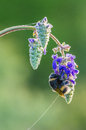 Bumblebee in dew drops Royalty Free Stock Photo