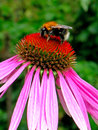Bumblebee on echinacea flower a also written bumble bee is any member of the bee genus bombus in the family apidae there are over Stock Images