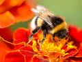 Bumblebee feeding on the flower of french marigold Royalty Free Stock Images