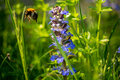 Bumblebee Flies Away From Wild...