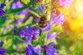 Bumblebee flies to a flower .