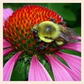 Bumblebee on flower an echinacea collecting pollen Stock Images
