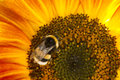 Bumblebee on a flower of a sunflower Royalty Free Stock Photo