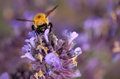 Bumblebee in lavender collecting pollen on a summer Royalty Free Stock Images