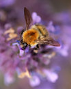 Bumblebee in lavender collecting pollen on a summer Royalty Free Stock Photos