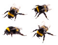 Bumblebee macro view isolated Royalty Free Stock Photo