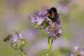 Bumblebee and phacelia flower Stock Images