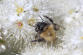 Bumblebee picking up nectar on the flover macro photo white extreme close Stock Photo
