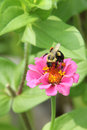 Bumblebee on a Pink Zinnia Flower Royalty Free Stock Photo
