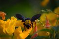 Bumblebee pollinate flowers in the garden Royalty Free Stock Photos