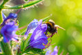 Bumblebee pollinating a flower .