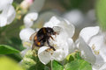 Bumblebee Pollinating A Flower...