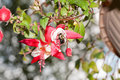 Bumblebee Pollinating a Hanging Fuschia Flower Royalty Free Stock Photo