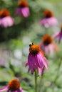 Bumblebee Pollinating Purple E...