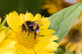 Bumblebee pollination on yellow flower macro Royalty Free Stock Photo