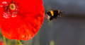 Bumblebee And Poppies