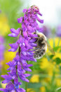 Bumblebee on a purple flower Royalty Free Stock Images