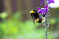 Bumblebee on purple foxglove white tailed collecting pollen off a in summer Stock Photo