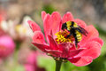 A bumblebee ready to feed on a zinnia Royalty Free Stock Photo