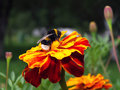 Bumblebee on red flower in the garden Royalty Free Stock Photo