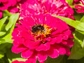 Bumblebee on red flower of Youth-and-age, Zinnia elegans, macro, selective focus, shallow DOF Royalty Free Stock Photo