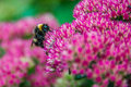 Bumblebee on Sedum Royalty Free Stock Photo