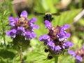 Bumblebee on Self-heal (Prunella vulgaris) Royalty Free Stock Photo