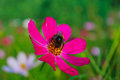 Bumblebee sits on a flower Zinnia Royalty Free Stock Photo