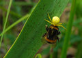 Bumblebee and a spider background biology bite grass green striped summer zoology Stock Image