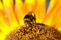 Bumblebee on a sunflower. Stock Photos