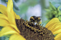 Bumblebee on a sunflower Royalty Free Stock Photo
