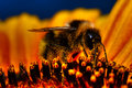 Bumblebee On Sunflower Royalty Free Stock Photo