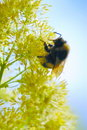 Bumblebee on a yellow flower Royalty Free Stock Photography