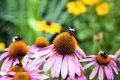 Bumblebees sitting on colorful flowers Royalty Free Stock Photo