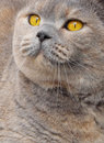 The bumpkin look photo of a pedigree british shorthair cat giving Stock Images