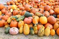 Bumpy gourd and pumpkin patch for halloween harvest season Stock Photography