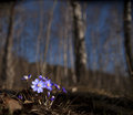 Bunch of anemone hepatica in forest in early spring Royalty Free Stock Photos