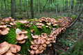 Bunch of autumnal honey fungus grows over mossy stump Stock Image
