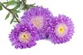 Bunch of beautiful blue with a yellow center asters isolated Stock Image
