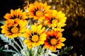 Bunch of Beautiful orange Gazania rigens plant grow on a flower bed in a spring season at a botanical garden. Royalty Free Stock Photo