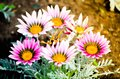 Bunch of Beautiful purple Gazania rigens plant grow on a flower bed in a spring season at a botanical garden. Royalty Free Stock Photo