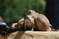 Bunch of Black-Tailed Prairie Dogs Sitting Together on a Rock Royalty Free Stock Photo