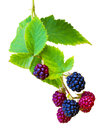 Bunch of blackberries. blackberry with leaf isolated on a white Royalty Free Stock Photo